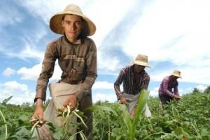Jovem e sua familia na colheita do feijao verde Assentamento California Caninde do Sao Francisco - SE